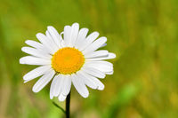 One blooming daisy with bokeh in green meadow