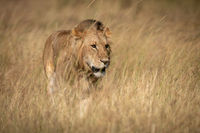 Male lion standing in grass in sunshine