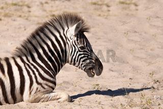 zebra calf in Etosha Namibia wildlife safari