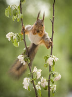 squirrel in a split between apple flower branches