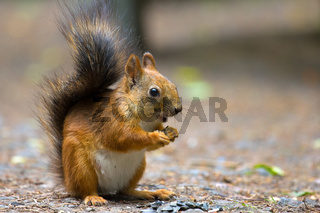 squirrel in Park closeup on background of summer woods.