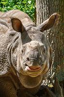 Rhinoceros (Diceros Bicornis)