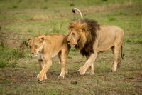 Male and female lions cross grass together