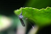 blood-sucking mosquito macro