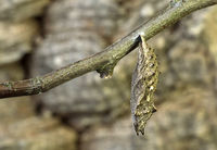 Puppe des Kleinen Fuchses (Aglais urticae)