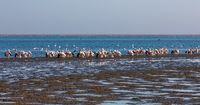 Pink-backed pelican colony in Walvis bay, Namibia