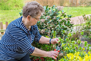 Dutch senior woman pruning branch of hydrangea