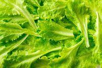 Leaves of fresh lettuce close-up