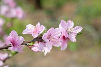Peach blossom tree flowers close-up in Chengdu