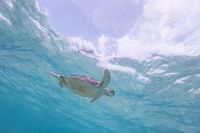 Sea turtle swimming freely in the blue ocean.