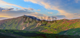 Rhododendron flowers on summer sunrise mountain slope