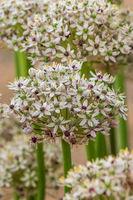 Allium  (silverspring)
