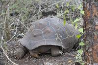 Galapagos-Riesenschildkröte (Chelonoidis nigra ssp) von hinten, Galapagos Inseln, Ecuador