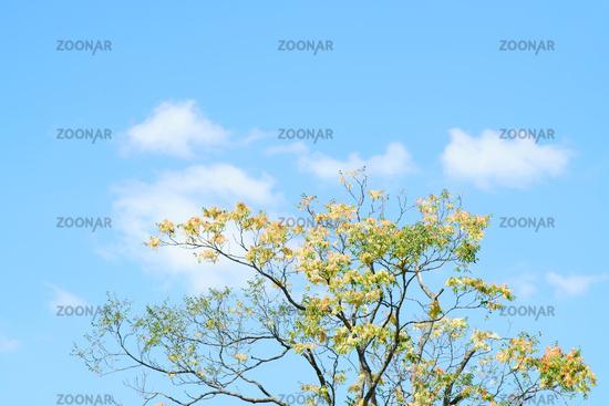 Baumkrone Essigbaum vor blauen Himmel