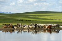 Rinder und Schafe an einer Wasserstelle in der mongolischen Steppe, Mongolei