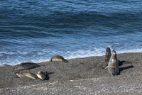 Sea lions resting under the sun, Patagonia Coastline, Peninsula Valdes, Argentina