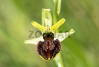 Blüte der Spinnen-Ragwurz (Ophrys aranifera)