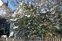 Cotoneaster salicifolius var. floccosus, Weidenblaettrige Felsenmispel, Willowleaved Cotoneaster