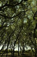 Fort Fisher, NC Live Oak trees