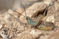 Grasshopper Omocestus minutissimus. Gallocanta Lagoon. Aragon. Spain.