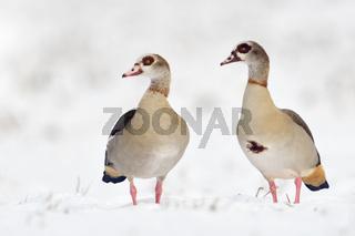 gerne zu zweit unterwegs... Nilgaense * Alopochen aegyptiacus * im Winter