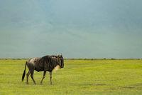 White-bearded wildebeest on grassland with hillside behind