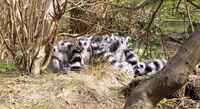 Ring-tailed lemur (Lemur catta), group in a tree