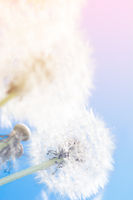 Dreamy dandelions blowball flowers against sky sunset. Pastel toned. Macro with soft focus. Delicate transparent airy elegant artistic image of spring. Nature greeting card background