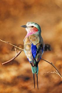 Gabelracke, South Luangwa Nationalpark, Sambia, (Coracias caudatus)  |  lilac-breasted roller, South Luangwa NP, Zambia, (Coracias caudatus)