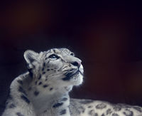 Young Snow leopard portrait  on dark background