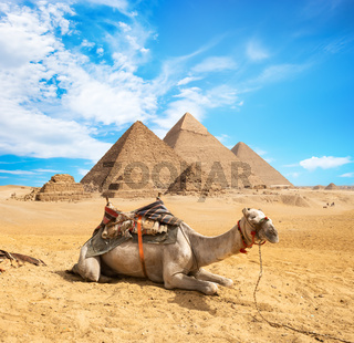 Camel in sandy desert