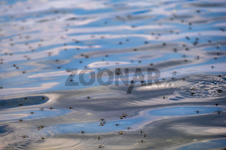 A swarm of mosquitoes against the backdrop of a lake