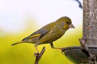 Juveniler Grünkfink