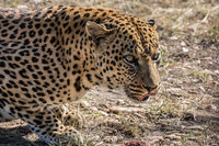 African predator in the wild savannah