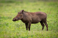 Warthog standing in profile on grassy meadow