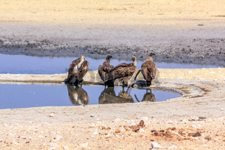 four vultures drinking