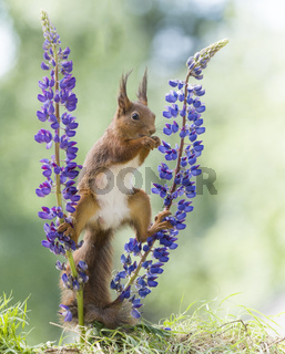 red squirrel is relaxing between lupine