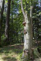 Baumpilze an Buchenstumpf