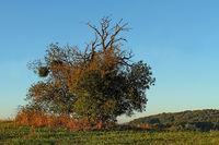 Apfelbaum, Malus