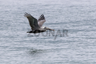 brown pelican who flies low over the water on the coast of the Atlantic Ocean