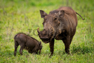 Warthog facing camera on grassland with baby