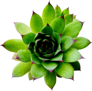 Echeveria, realistic vector illustration, succulent plant, top view.