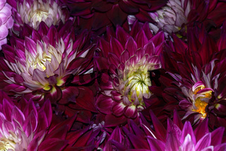 Hybride einer Garten-Dahlie (Dahlia x hortensis)