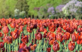 Tulip flower bulb field in the garden, Spring season in Amsterdam Netherlands