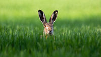 Wild brown hare looking with alerted ears on a green field in spring.