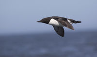common guillemot which flies against the backdrop of rocky coastline