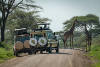 Masai giraffe watched by tourists in jeeps