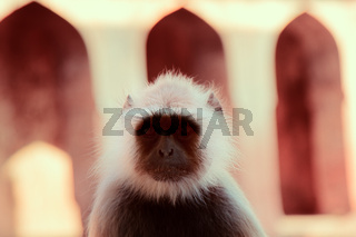Langur monkey portrait on the background of ancient temple