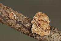 Kugelsporiges Stummelfuesschen (Crepidotus cesatii)
