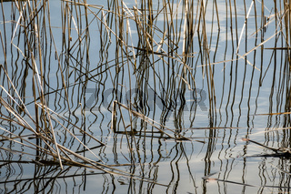 altes schilf im See, old reed in a lake